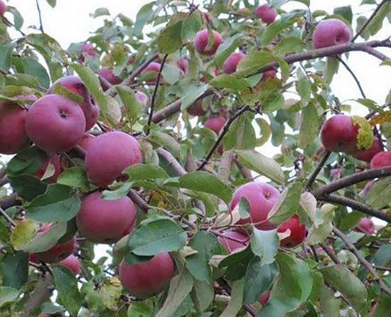 Яблоня Белорусское Малиновое