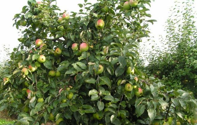 Дерево яблони Корей