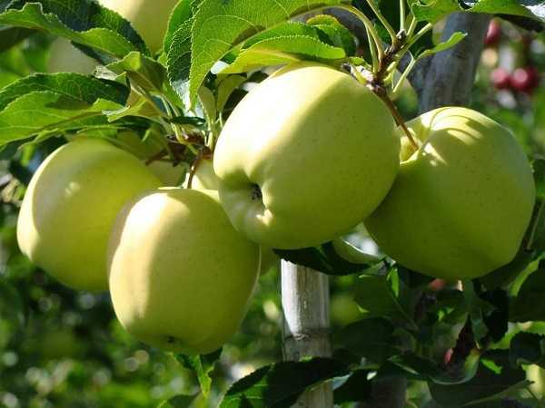 Яблоки Корей