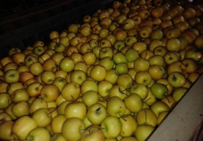 Урожай яблони Корей