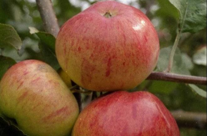 Плоды яблони Память Мичурина