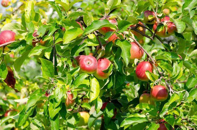 Яблоки Память Мичурина