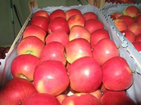 Хранение яблок Топаз