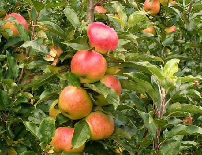 Сорт яблок Целесте