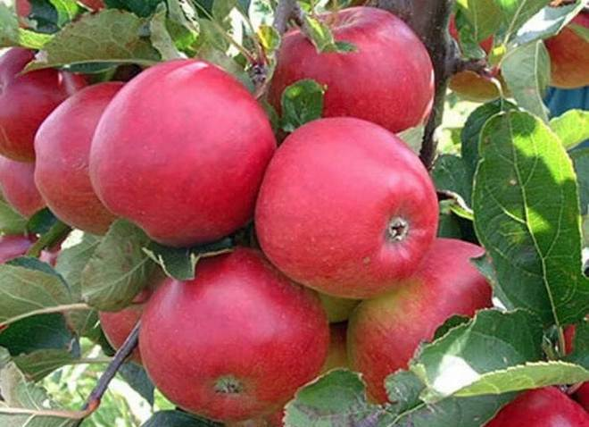 Яблоки Вишневое