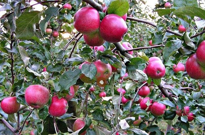 Яблоня с урожаем