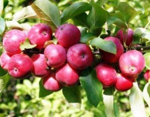 Яблоня Осенняя Радость в Подмосковье