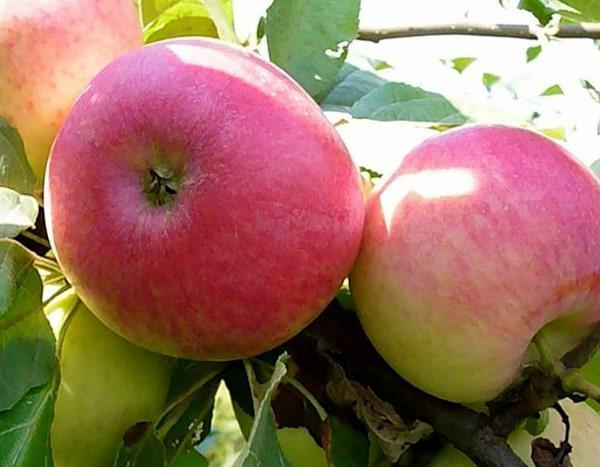 Яблоки Первый салют