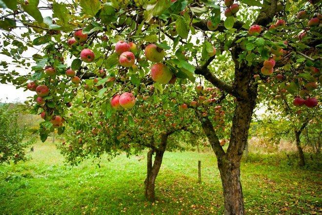 Дерево сорта яблок Первый Салют