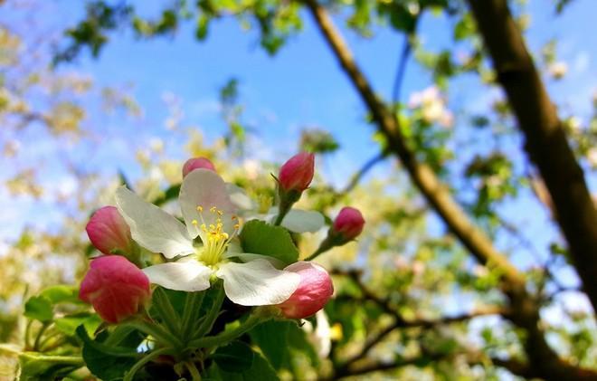 Соцветия у яблони