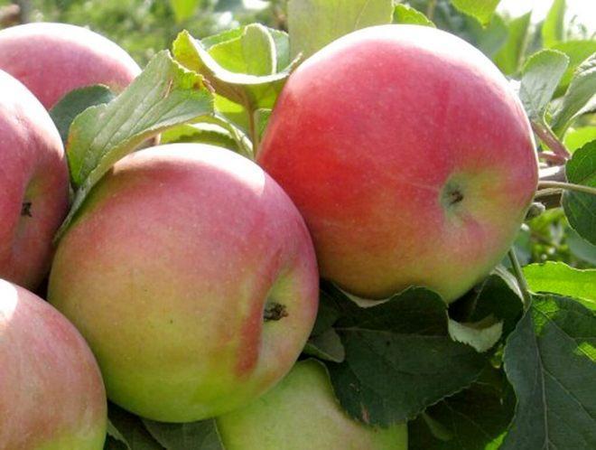 Сорт яблок Родниковая