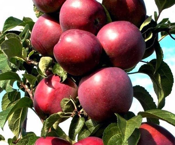 Сорт яблок Созвездие