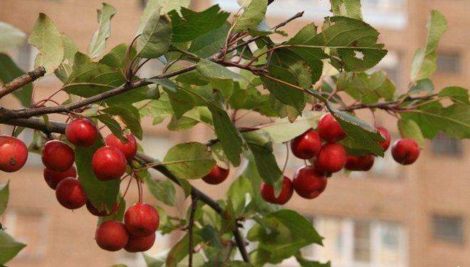 Яблоки Недзвецкого