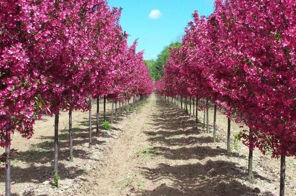 Сад декоративных яблонь