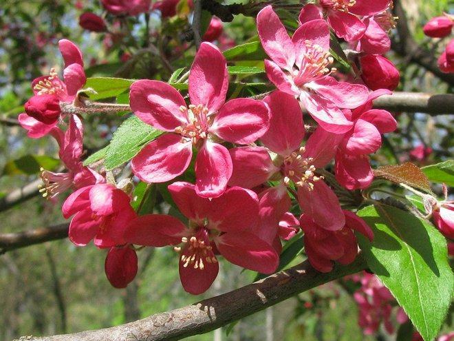 Цветение яблони Недзвецкого