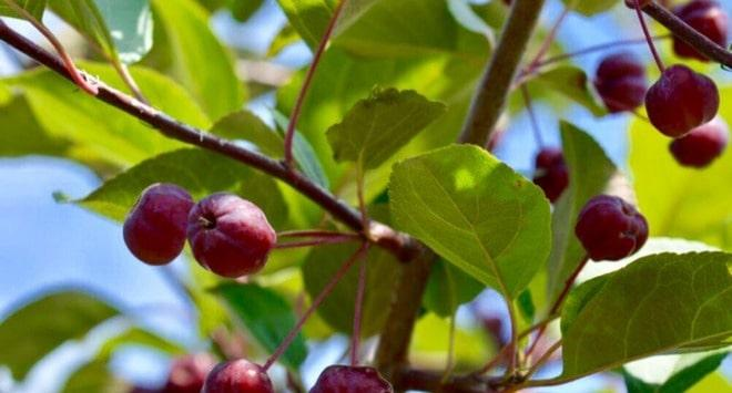 Плоды яблони Недзвецкого
