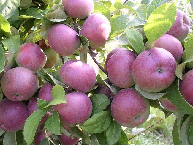 Плоды яблок Спартан