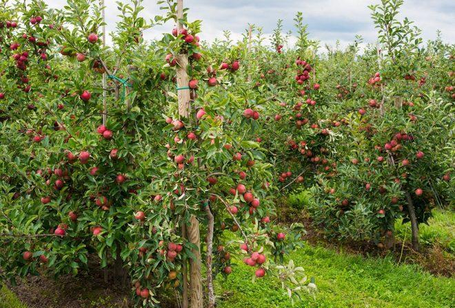 Выращивание яблони Спартан