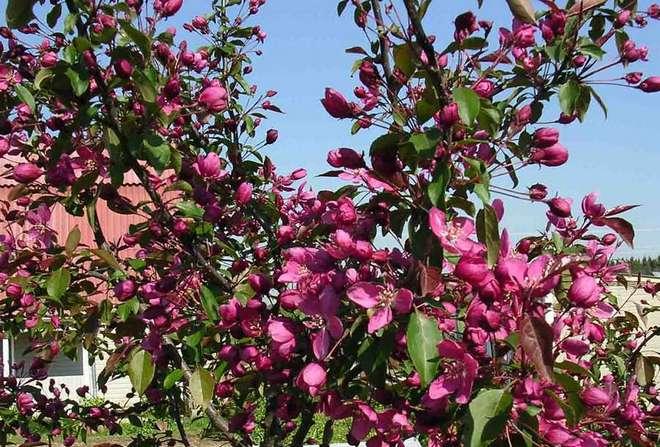Яблоня Плакучая красноцветная