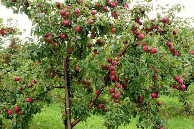 Яблоня не растет