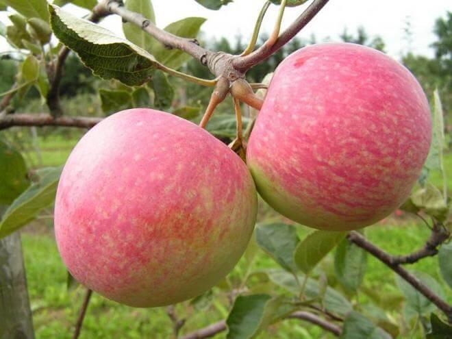 Яблоня для Северного Урала