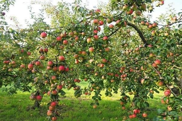 Ежегодно плодоносящая яблоня.