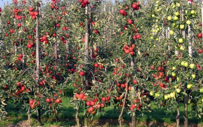 Яблони колоновидного сорта