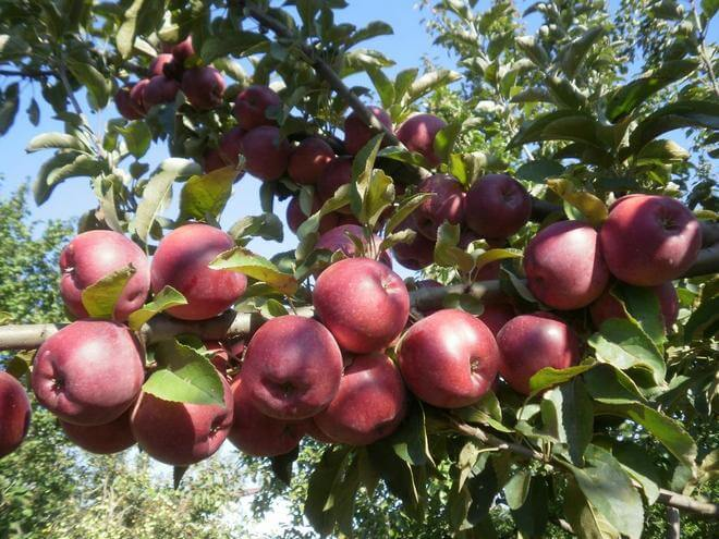 Яблоня на Украине