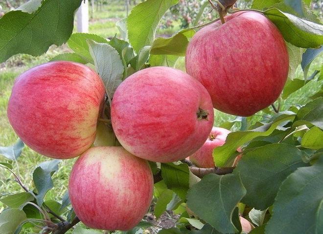 Сорт яблок Летнее Полосатое