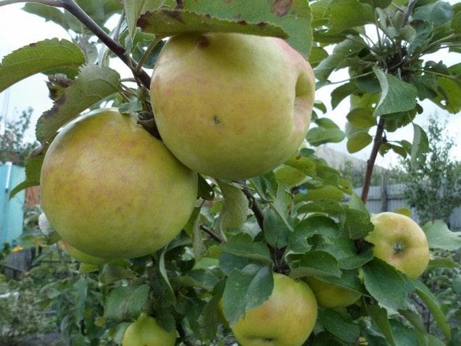 Яблоня Янтарное