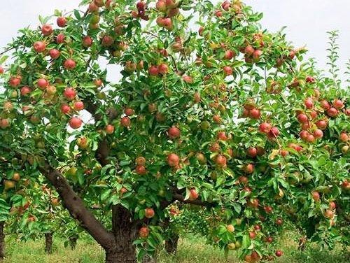 Взрослое дерево яблони