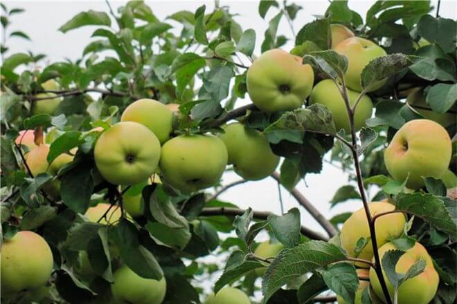 Сорт яблок Бабушкино