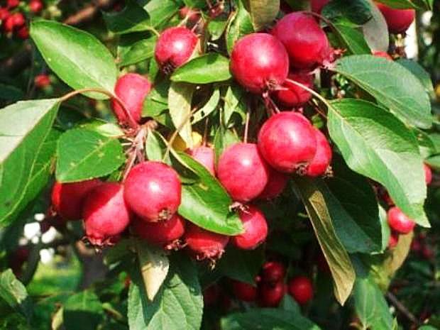 Сорт яблок Комсомолка