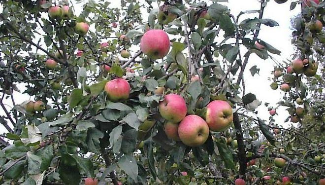 Яблоня в средней полосе России