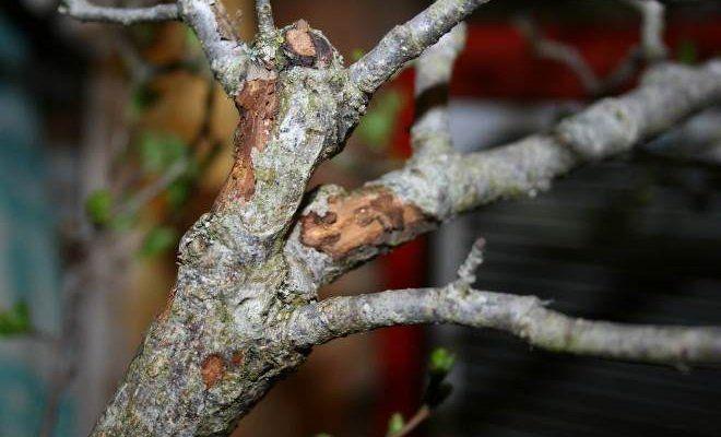 Молодая яблоня с отслоением коры