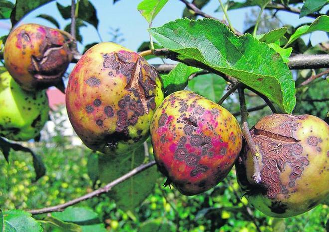 Филлостиктоз на яблоках