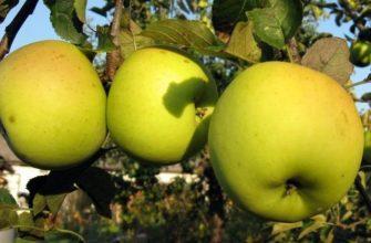 Сорт яблок Лимонка