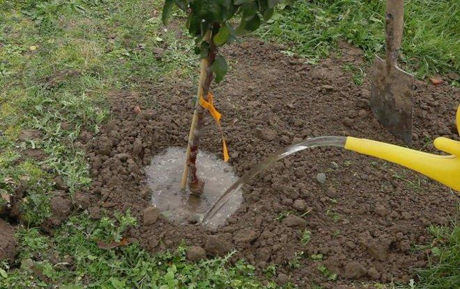 Процесс полива яблони