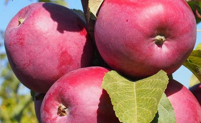 Яблоня зорька