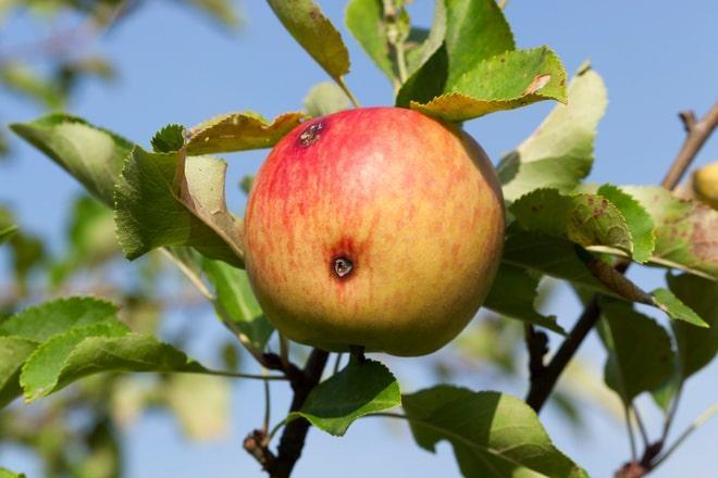 Яблоко с червяком