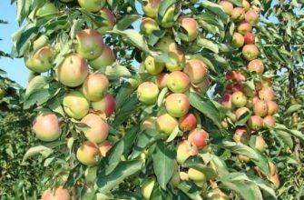 Штамбовая разновидность яблони