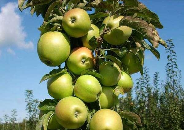 Яблоня Гирлянда