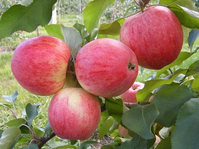 Зрелые яблоки