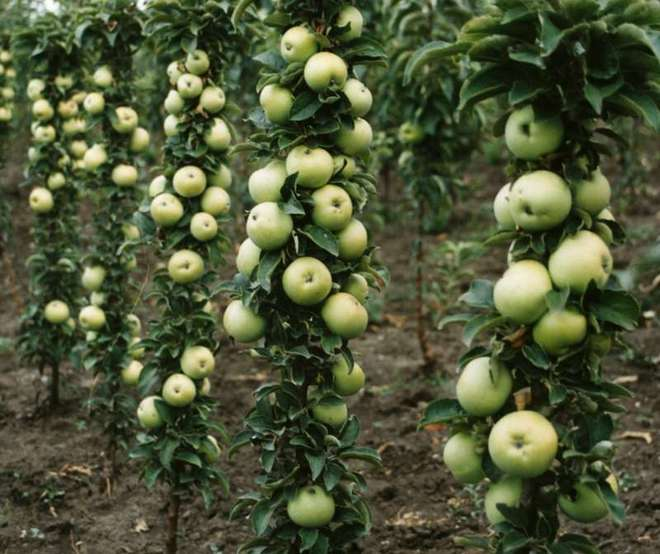 Яблони сорта Икша