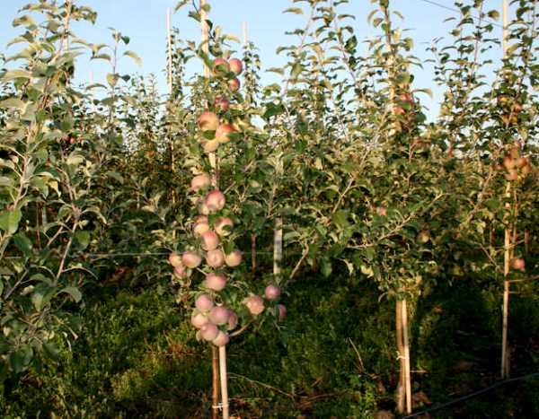 Сорт яблок Фуджи