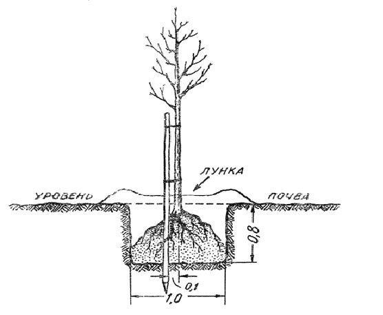 Схема высадки яблони