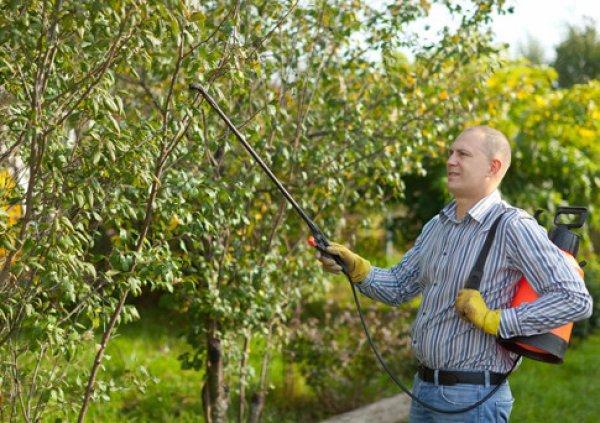 Процесс опрыскивания яблони