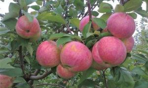 Дерево яблони Братчурд
