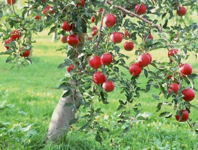 Зимняя яблоня