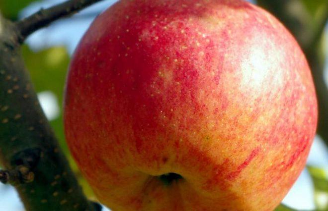 Сорт яблок Медовый хруст